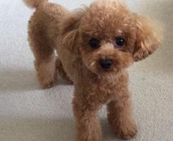 犬のカーペットおすすめはどれ?